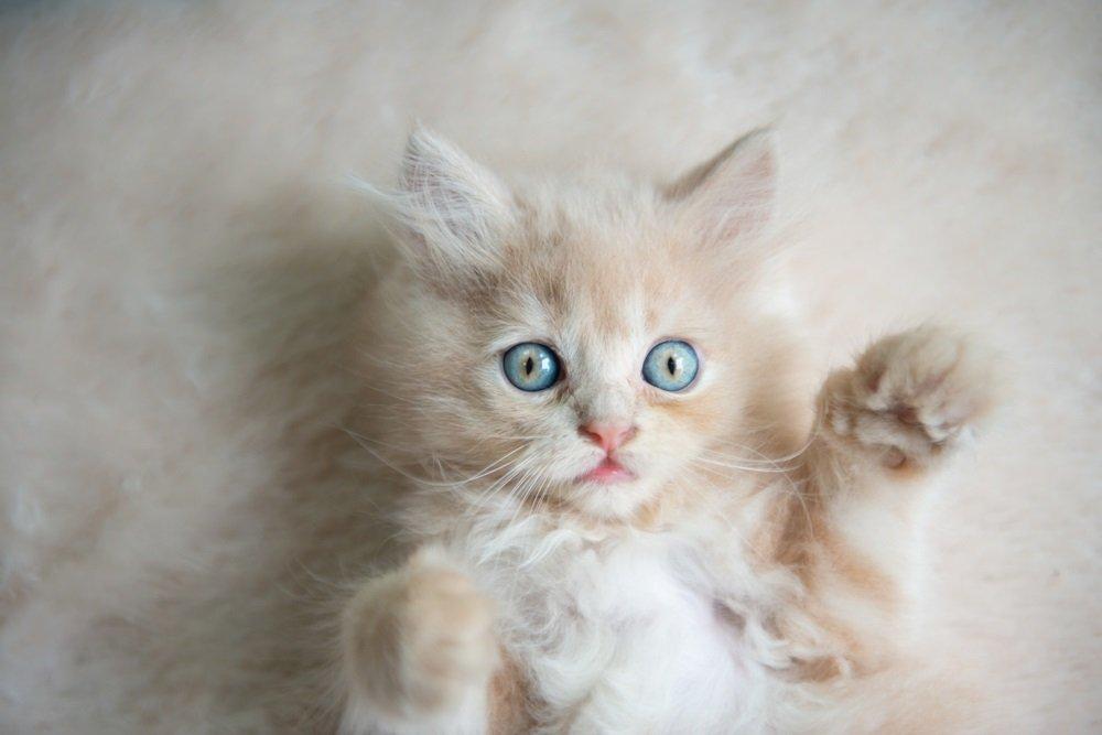 Kittens met blauwe ogen