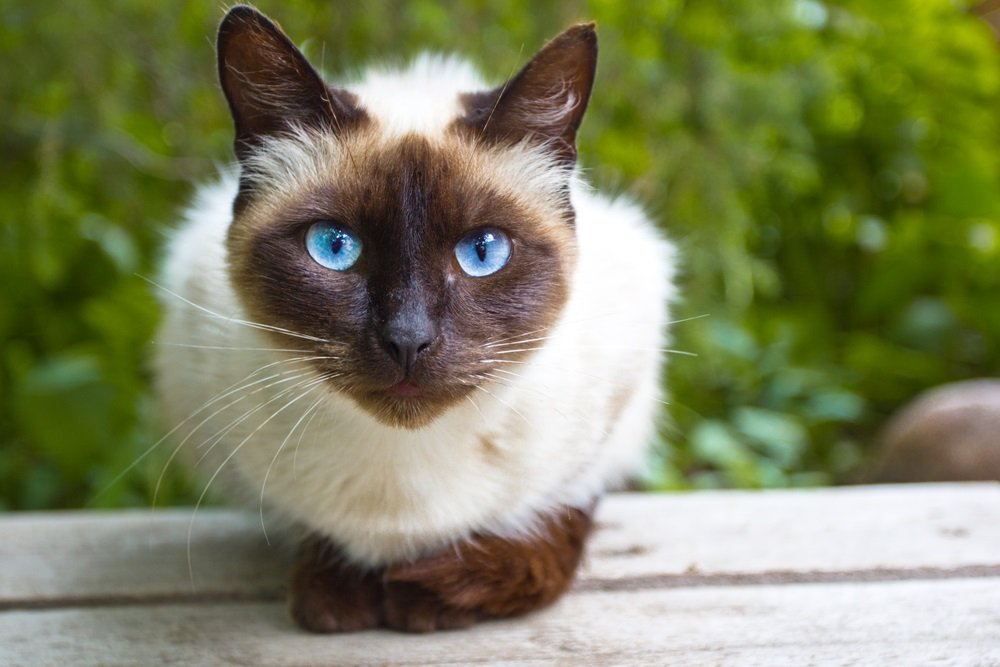 Siamees kat met blauwe ogen