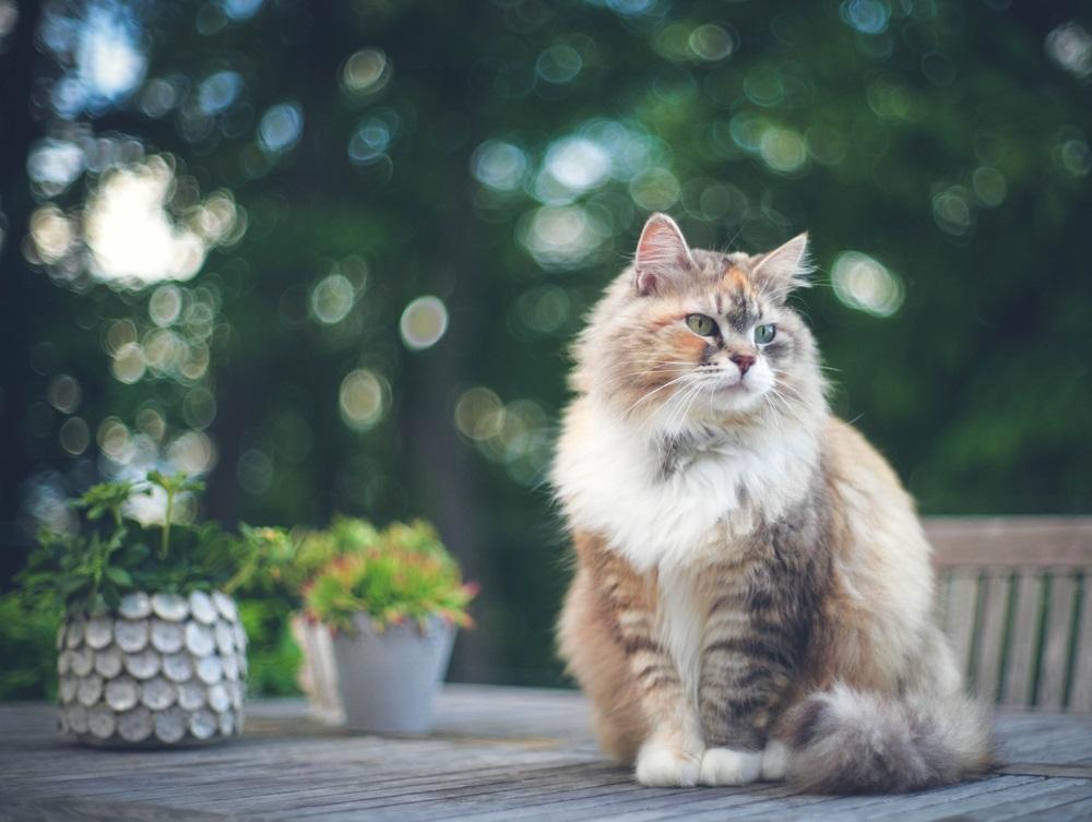 Siberische kat niet verharen