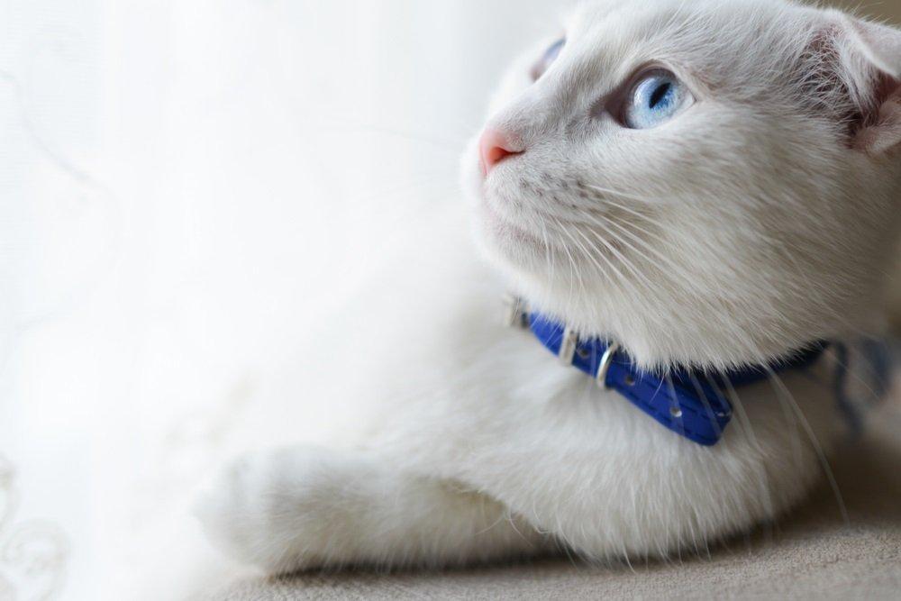 Turkse Angora met blauwe ogen
