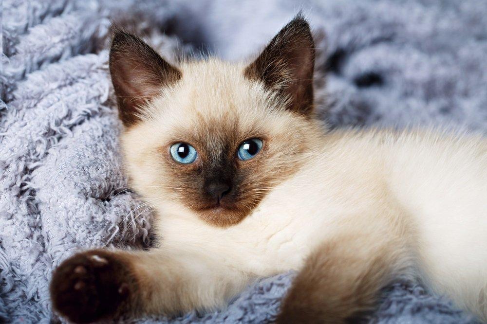 Balinese kat met blauwe ogen