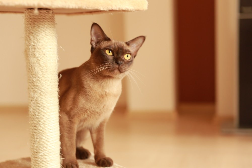 Burmese kat klein kattenras