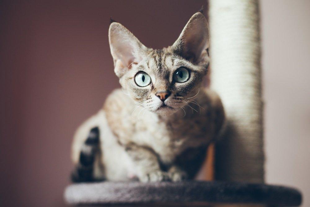 Devon Rex kleine katten