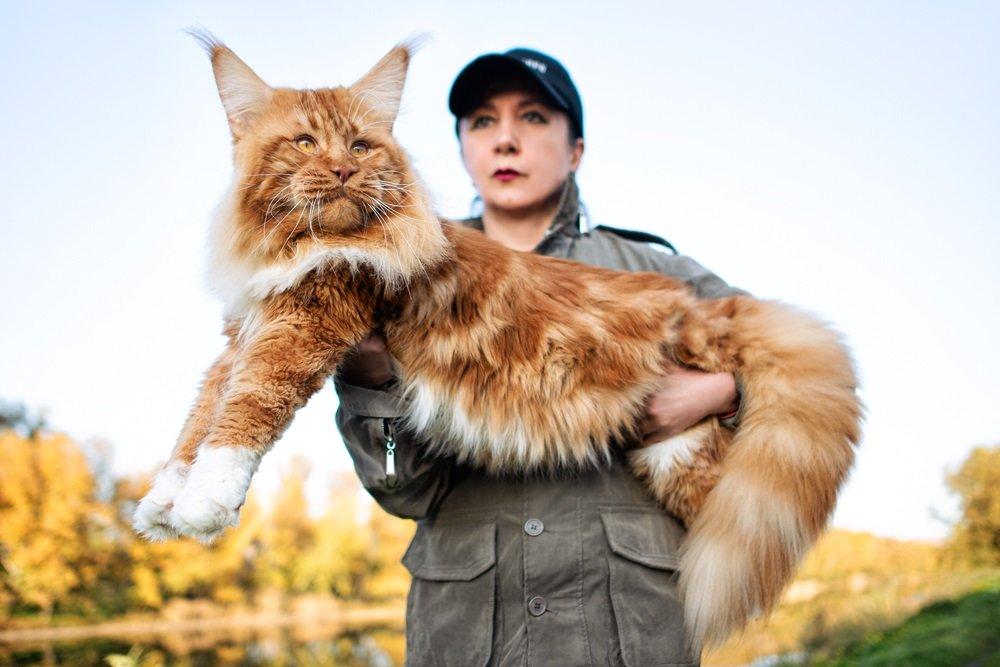 Maine Coon Grootste kat ter wereld