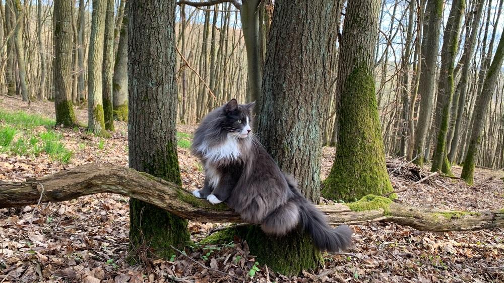 noorse boskat grote kat