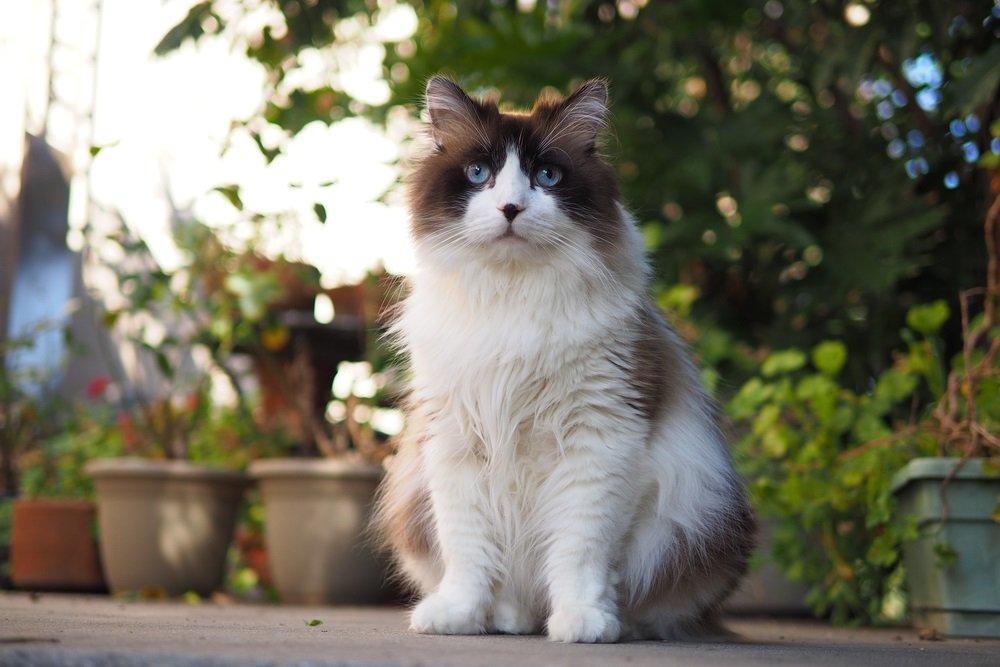 Ragdoll groot kattenras