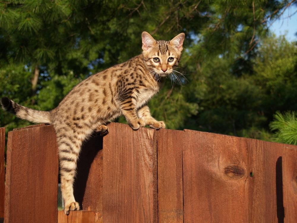 Savannah kattenras