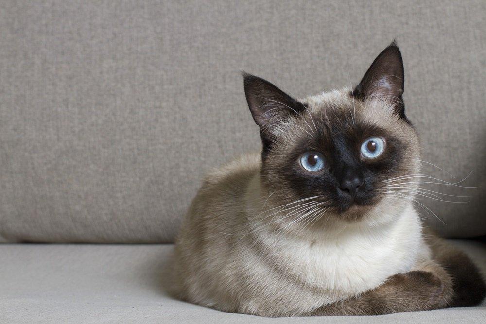 Siamese kat - kleinste kattenrassen