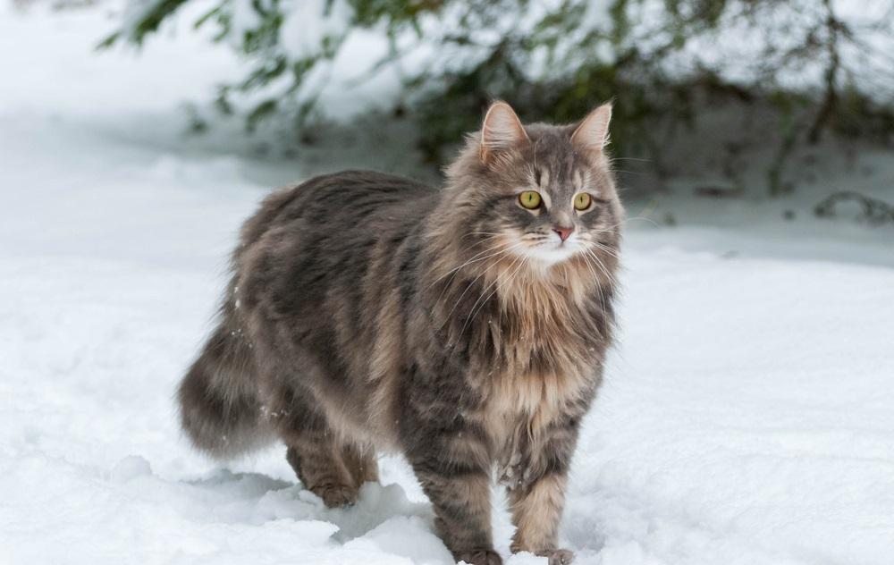 Siberische kat groot kattenras