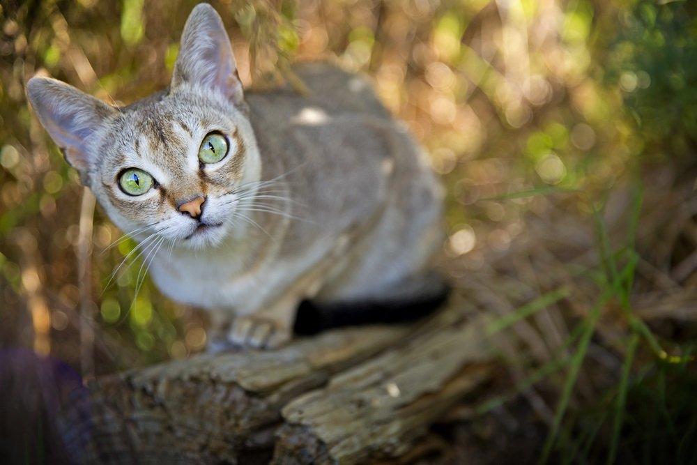 Singapura klein kattenras