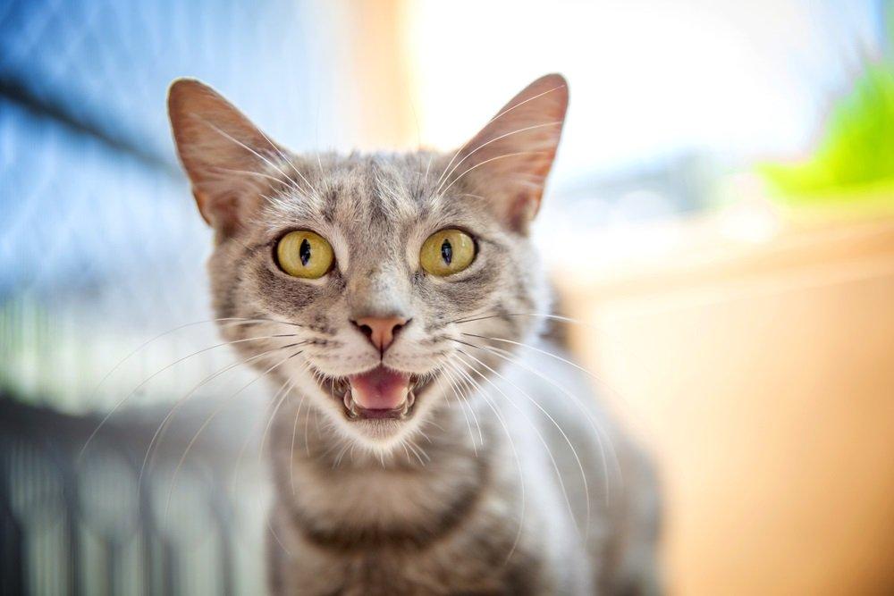 Kitten blijf miauwen