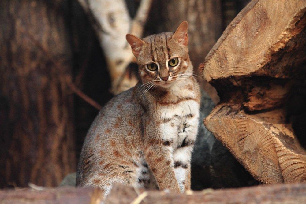 Roestkat kleinste kat ter wereld